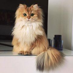 """Dünyanın En Fotojenik Kedisi """"Smoothie"""""""